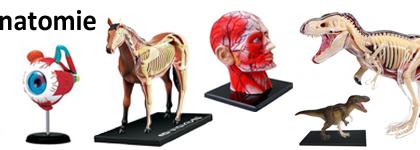Modèles d'anatomie & morphologie