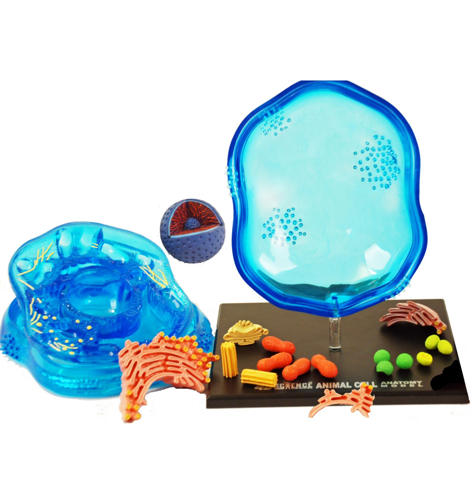 3D Cell models with detachable parts - Animal cell and Plant cell ...