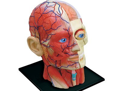 Anatomical head model and puzzle - Funique science games, kits and ...