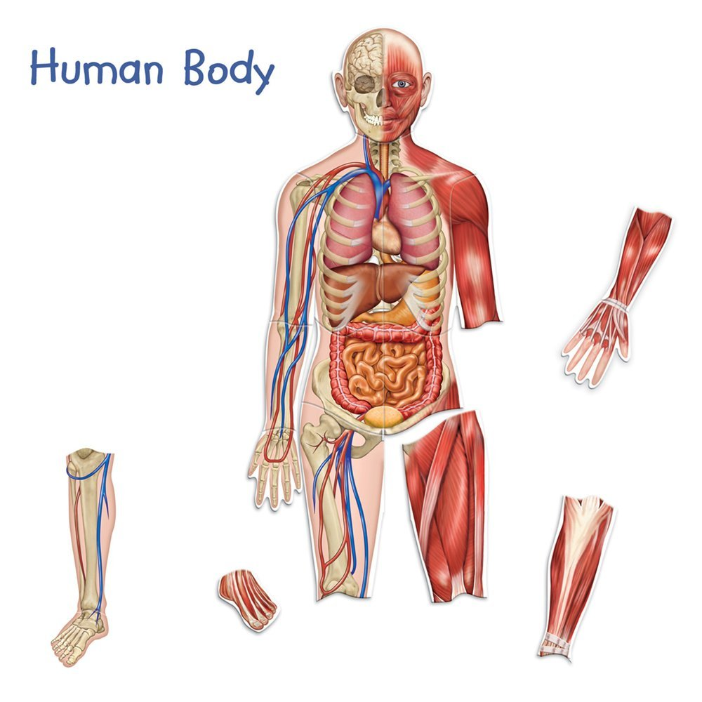Magnetic Human Body And Skeleton Funique Science Games Kits And