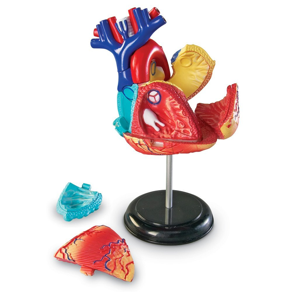 Heart Anatomy Model - Funique science games, kits and teaching material