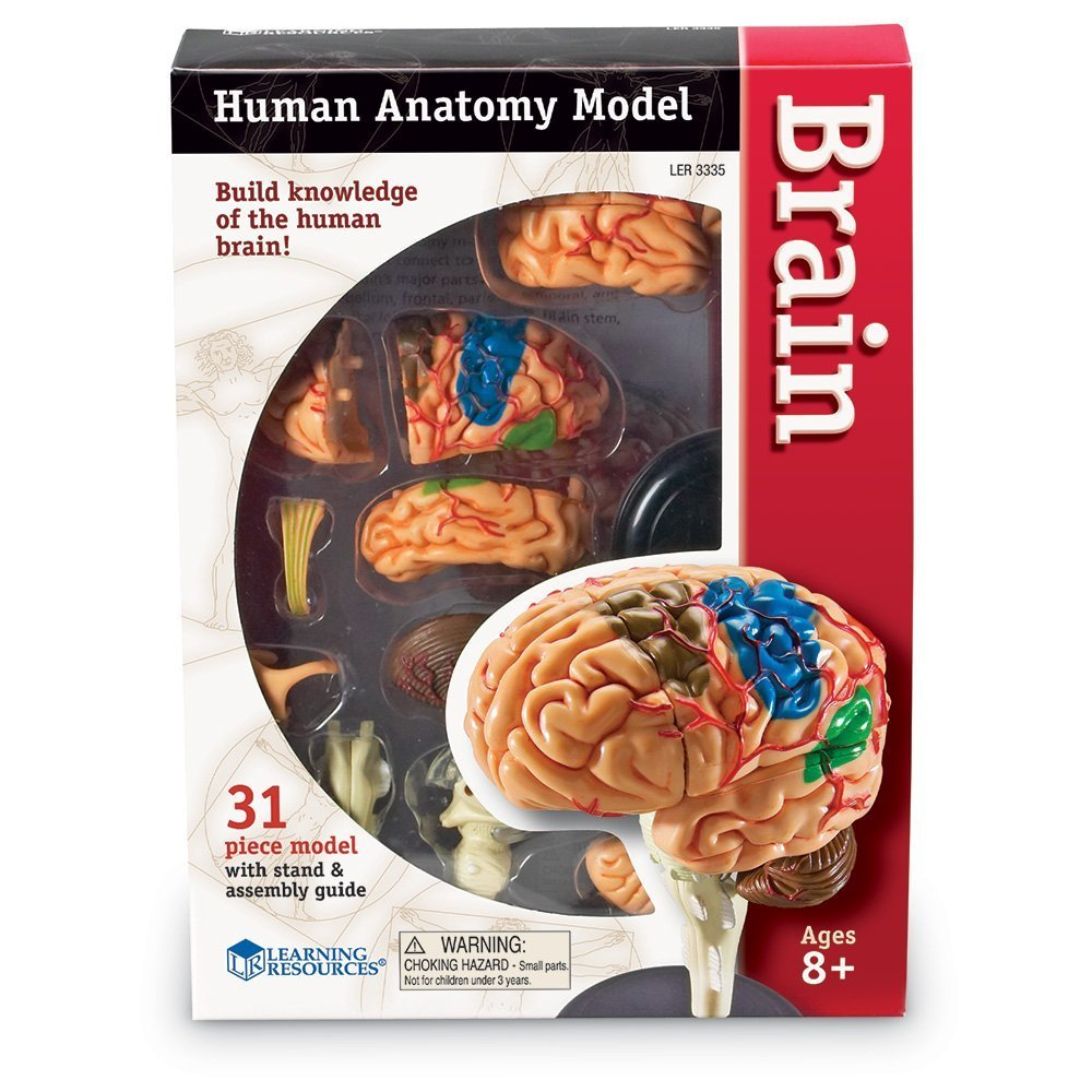 Brain anatomy model - Funique science games, kits and teaching material
