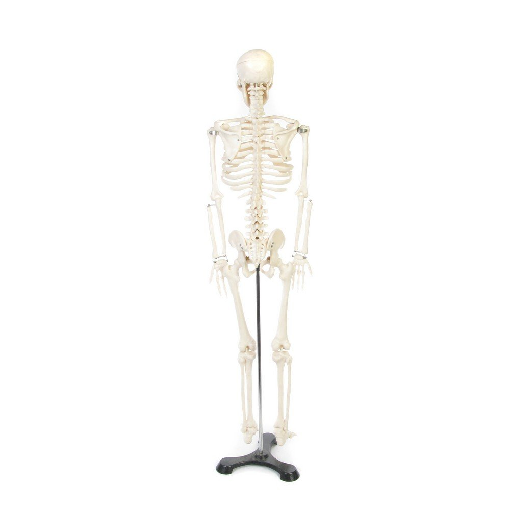 Human Skeleton Model Funique Science Games Kits And Teaching Material