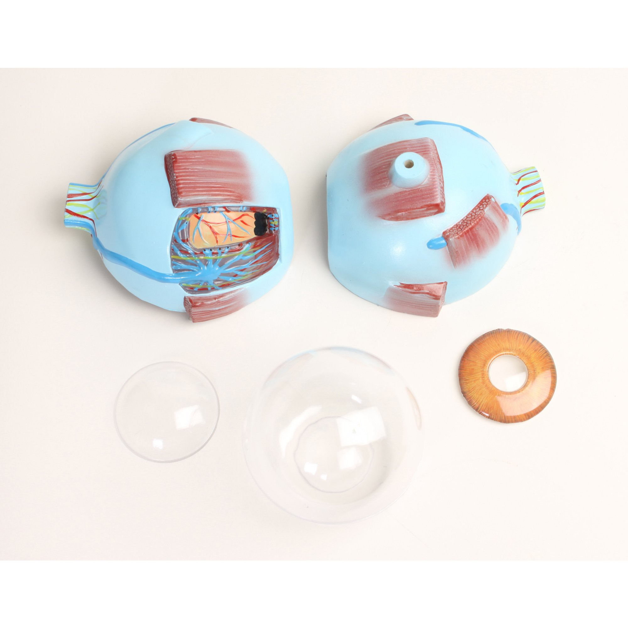 Giant Eye Anatomy Model Funique Science Games Kits And Teaching